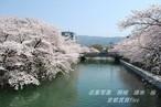 岡崎 疏水 桜