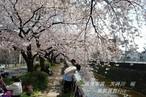 天神川 桜