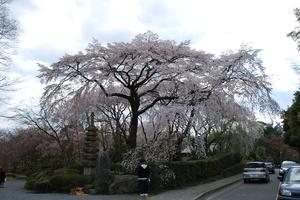 嵯峨広沢桜